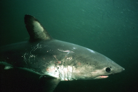A salmon shark swims through the cold waters of Prince William Sound, Alaska. Credit: Image courtesy of Scot Anderson.
