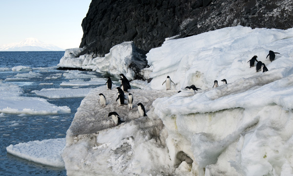 Adelie penguins on Ross Island