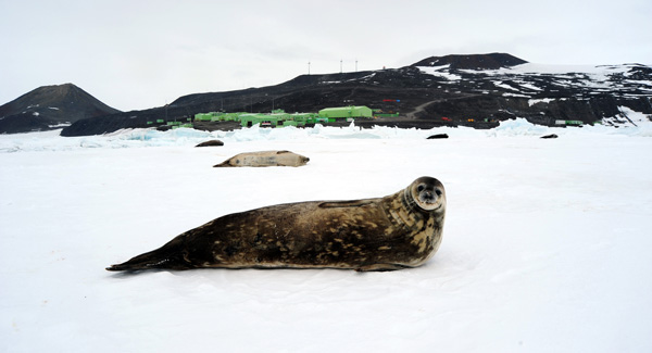 Weddel Seal at Scott Base