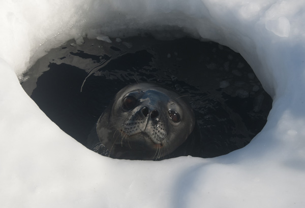 Weddel in ice hole